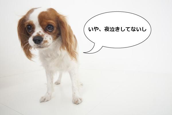 みそ吉 キャバリア 子犬