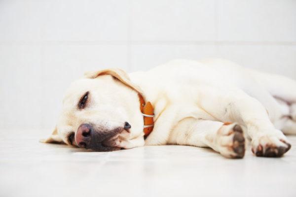 睡眠薬や安定剤で落ち着く犬